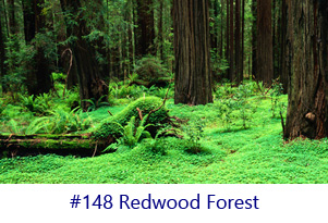 Redwood Forest Screen Image