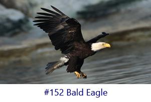 Bald Eagle Screen Image
